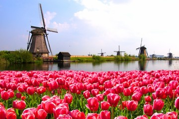 FototapetaPink tulips with Dutch windmills along a canal, Netherlands