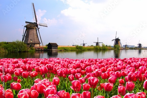 Poster Noord Europa Pink tulips with Dutch windmills along a canal, Netherlands