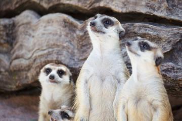 alert meerkat (Suricata suricatta) standing and looking around f