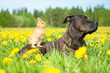 canvas print picture - American staffordshire terrier with little rabbit on its back