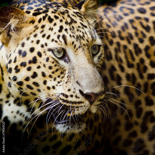 Keuken foto achterwand Panter Leopard portrait