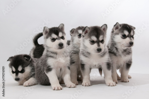 Sechs Siberian Husky Geschwister © Michael Ebardt