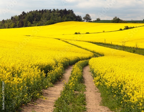 Poster Jaune Field of rapeseed (brassica napus)