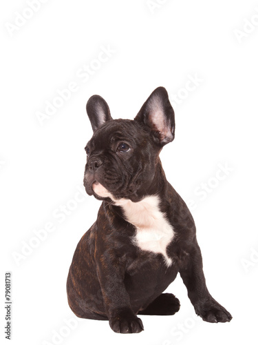 Deurstickers Franse bulldog French Bulldog puppy (3 months old) - Stock Image