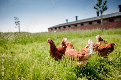 Obraz na plátně  chicken on traditional free range poultry