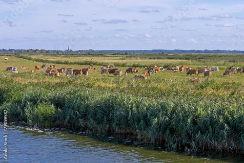 Fotografie, Obraz  Viehweide am Bodden - Im Hintergrund Barth