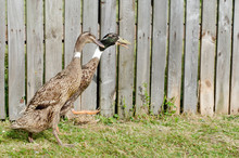 Couple Of Indian Runner Duck