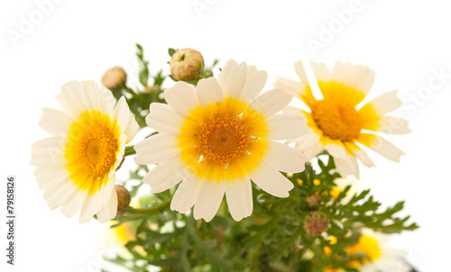 Papiers peints Narcisse Garland chrysanthemum isolated on white