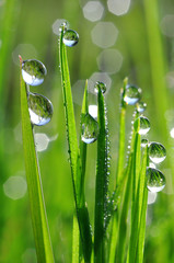 FototapetaFresh green grass with dew drop closeup. Nature Background