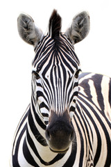 Panel Szklany Zebry Zebra isolated on white