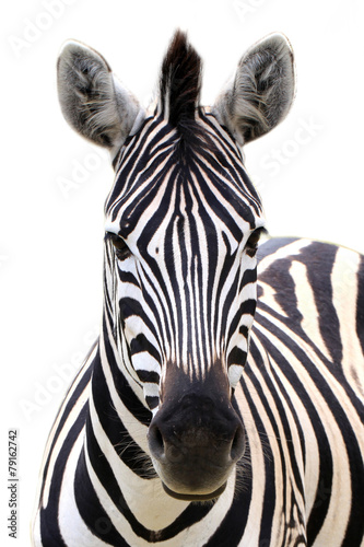 Montage in der Fensternische Zebra Zebra isolated on white
