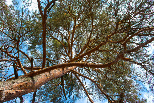 Valokuva  Scots pine tree canopy