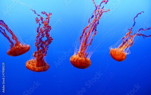 Fotografie, Obraz  orange jellyfish