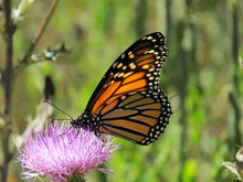 Monarch Butterly With Stained Glass Wings
