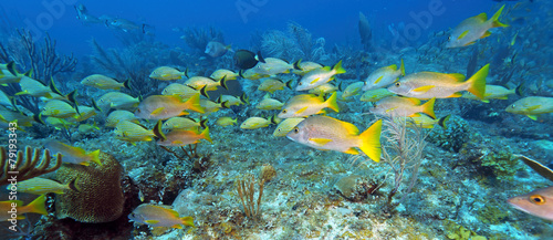 School of five-lined Snappers (Lutjanus quinquelineatus) #79193343