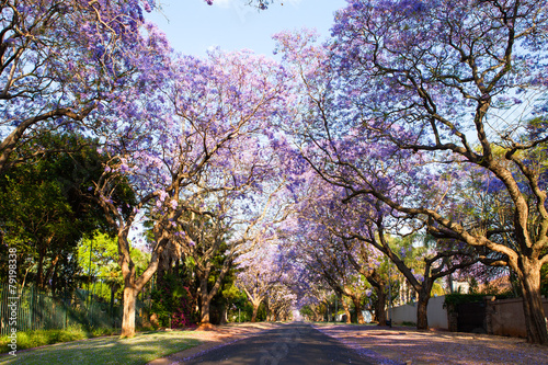 Poster Afrique du Sud Early morning street scene of jacaranda trees in bloom
