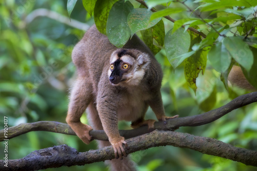 Lemur portrait Canvas Print