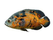Oscar Fish Isolated Over White