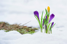 Delicate Crocus Flowers In The Snow