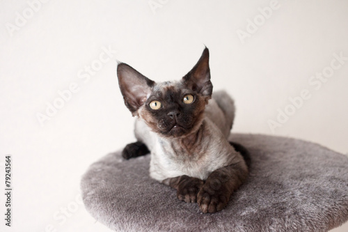 Photo  Beautiful devon rex kitten