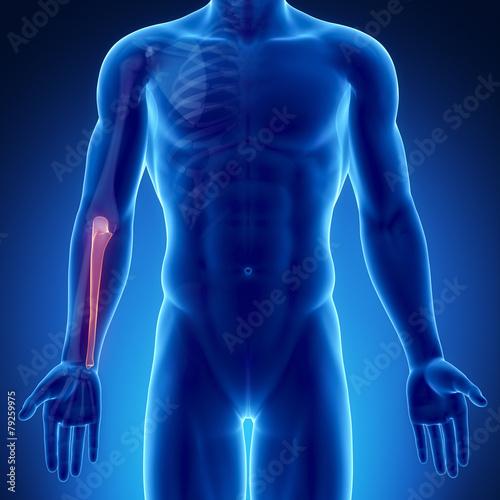 Photo Male bone anatomy ulna