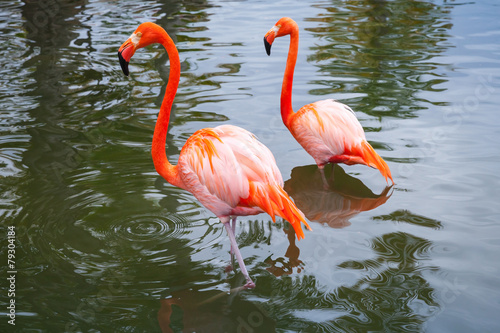 Foto op Aluminium Flamingo Two pink flamingos walking in shallow water