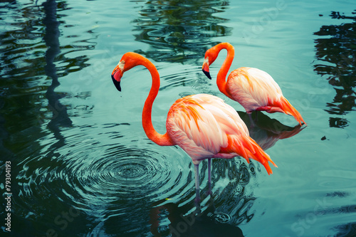 Tuinposter Flamingo Two pink flamingos walking in the water with reflections