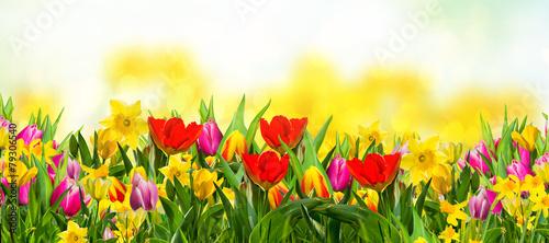 Foto op Plexiglas Tulp Frühlingsblumen auf der Wiese Natur