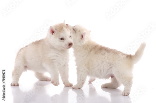Two Siberian Husky Puppies Playing On White Background Buy