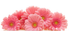 Pink Gerber  Flowers  Isolated On White.