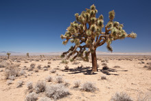 USA - Nevada Desert - Joshua T...