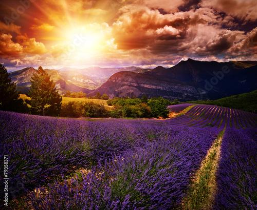 Foto op Plexiglas Bruin lavender field Summer sunset landscape