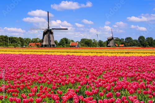 Colorful spring tulips with traditional windmills, Netherlands