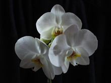 White Orchid Flowers On A Black Background