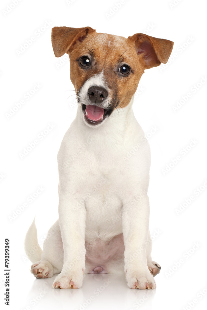 Fototapety, obrazy: Jack Russell terrier puppy. Portrait on white background