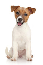 Jack Russell Terrier Puppy. Portrait On White Background