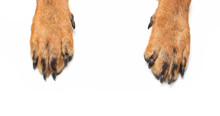Rottweiler Paws