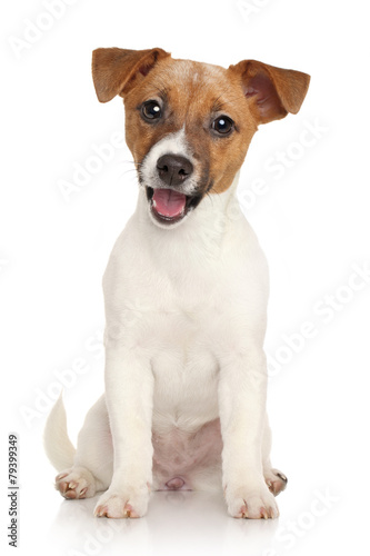 Obraz Jack Russell terrier puppy. Portrait on white background - fototapety do salonu