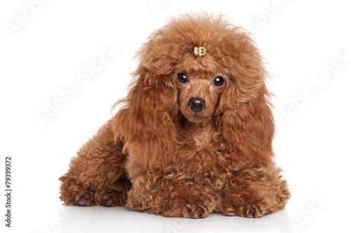 Tableau sur Toile Red toy poodle puppy