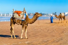 Camels On The Beach In Essaoui...