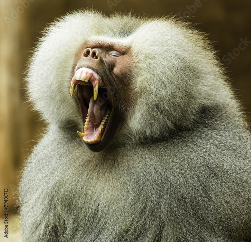 Yawning Baboon Looking to His Right Canvas Print