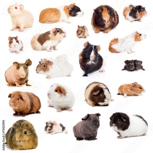 teddy-guinea-pig
