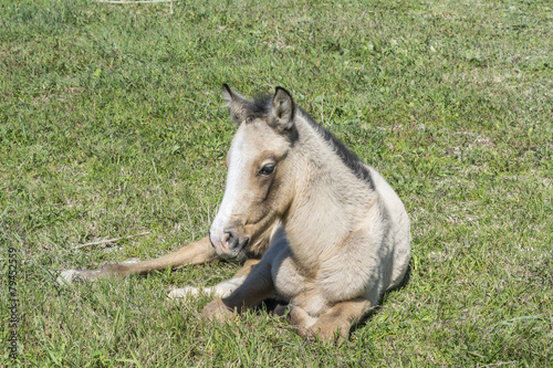 Fotografie, Obraz  Free colt lying in the countryside