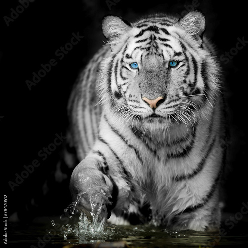 Photo Stands Panther Black & White Tiger