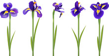 Set With Five Detailed Irises