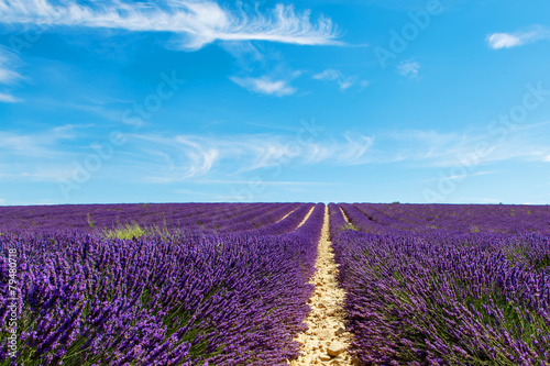 Foto op Aluminium Snoeien Blooming lavender fields near Valensole in Provence, France.