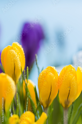 Foto op Plexiglas Tulp Close up side view of colorful yellow crocus