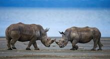 Two Rhino Nose To Nose. Kenya.
