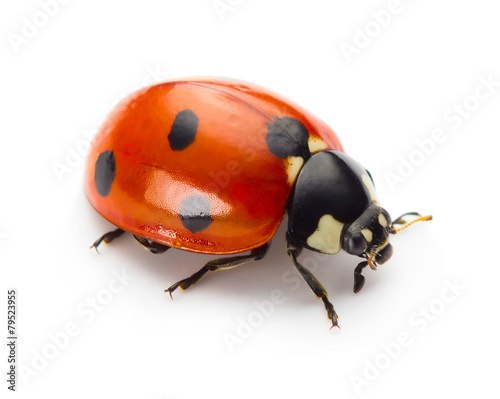 Photographie Ladybug