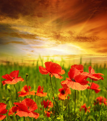 Panel Szklany Maki poppies field in rays sun